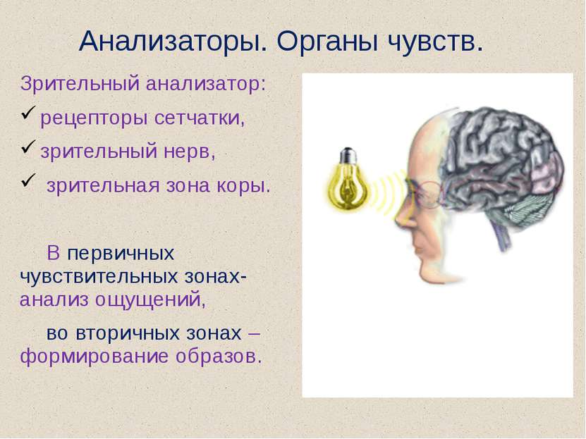 Анализаторы. Органы чувств. Зрительный анализатор: рецепторы сетчатки, зрител...