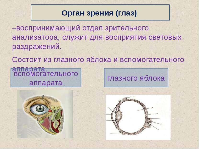 –воспринимающий отдел зрительного анализатора, служит для восприятия световых...