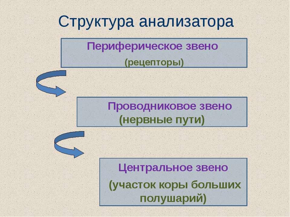 Структура анализатора Периферическое звено (рецепторы) Проводниковое звено (н...