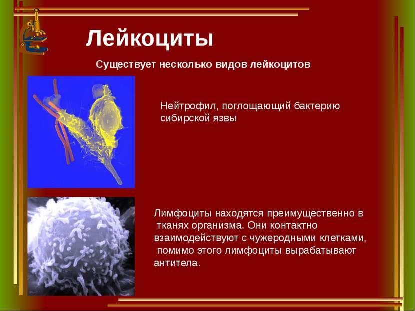 Лейкоциты Существует несколько видов лейкоцитов Нейтрофил, поглощающий бактер...