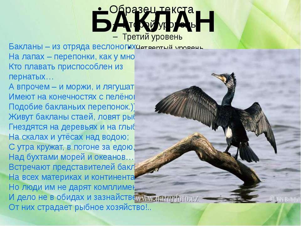 БАКЛАН Бакланы – из отряда веслоногих; На лапах – перепонки, как у многих, Кт...