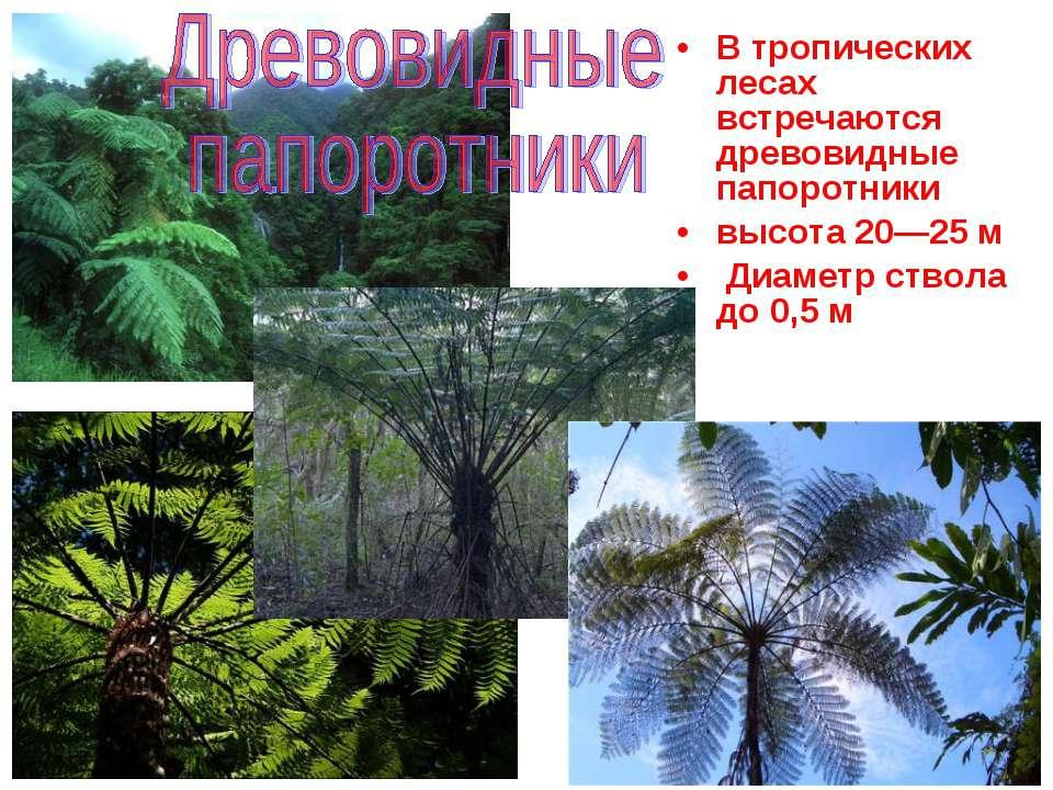 В тропических лесах встречаются древовидные папоротники высота 20—25 м Диамет...