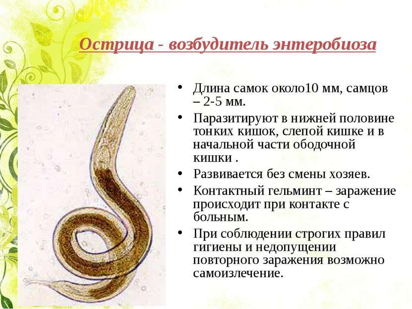 Острица - возбудитель энтеробиоза Длина самок около10 мм, самцов – 2-5 мм. Па...