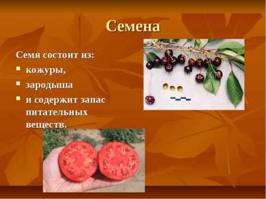 Семена Семясостоит из: кожуры, зародыша и содержит запас питательных веществ.