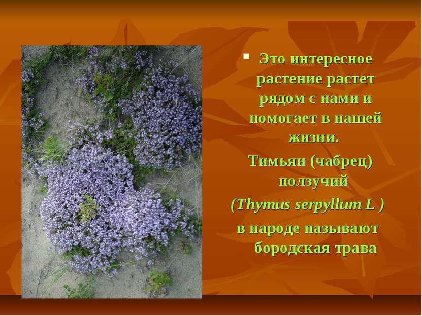 Это интересное растение растет рядом с нами и помогает в нашей жизни. Тимьян ...
