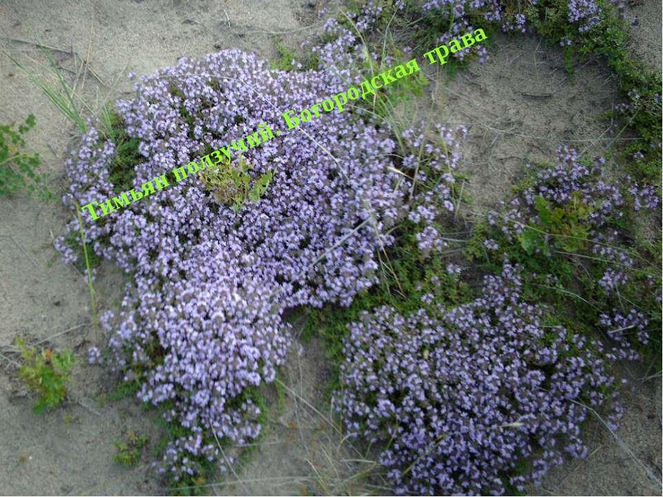 Тимьян ползучий. Богородская трава