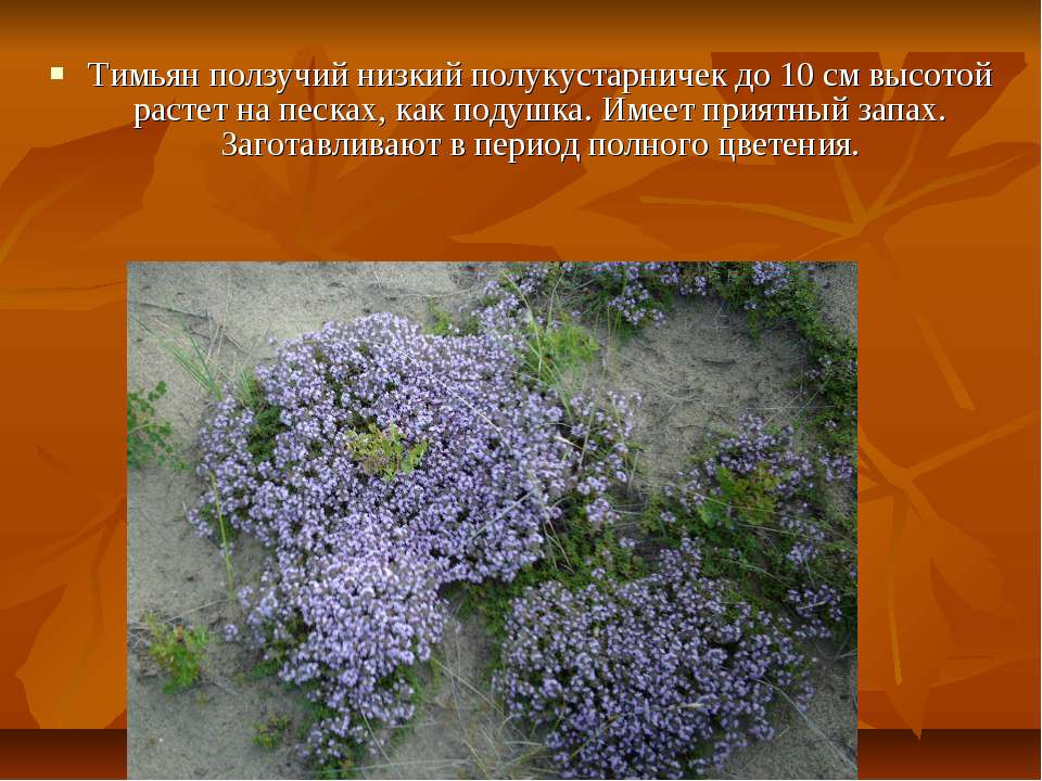 Тимьян ползучий низкий полукустарничек до 10 см высотой растет на песках, как...