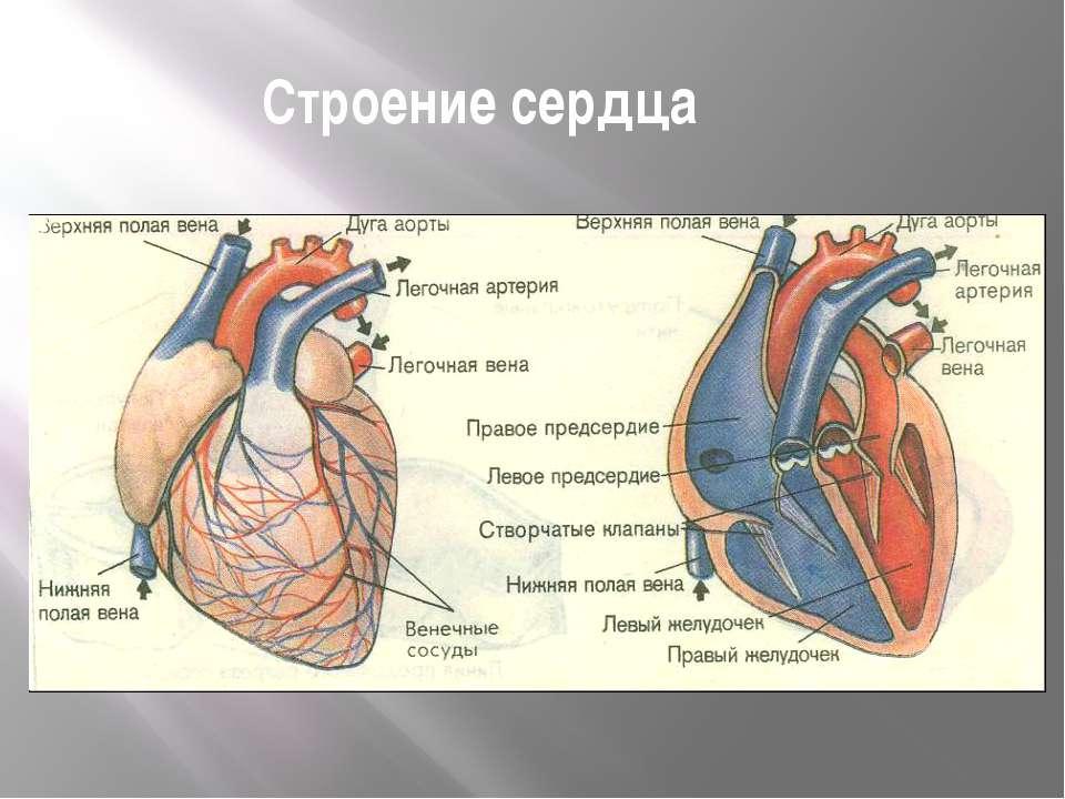 Анализ крови здорового человека Анализ крови: эритроциты - 4,5 - 5 млн. в мл ...