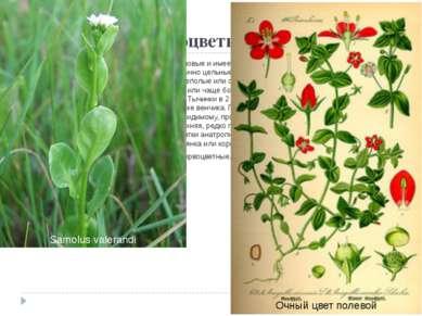 Порядок 11. Первоцветные(Primulales) Стоит близко к порядкам вересковые и ...