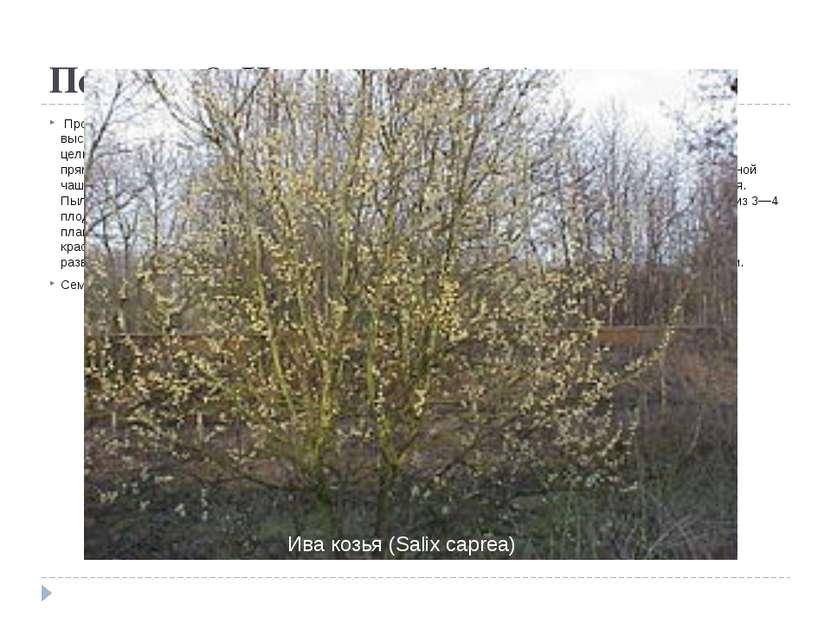 Порядок 8. Ивовые(Salicales) Происходит от флакуртиевых, вероятнее всего, о...