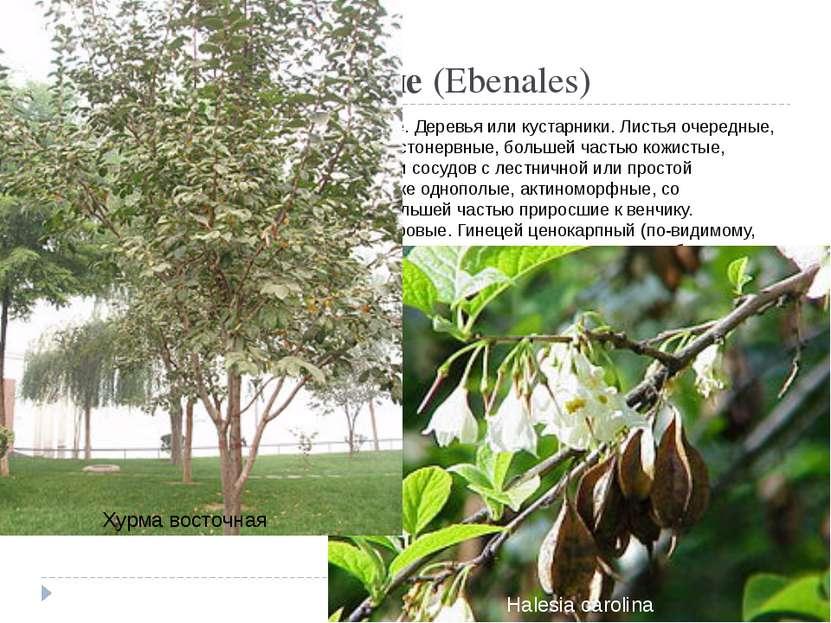 Порядок 10. Эбеновые(Ebenales) Происходит, вероятно, от порядка чайные. Дере...