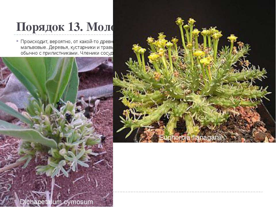 Порядок 13. Молочайные(Euphorbiales) Происходит, вероятно, от какой-то древн...