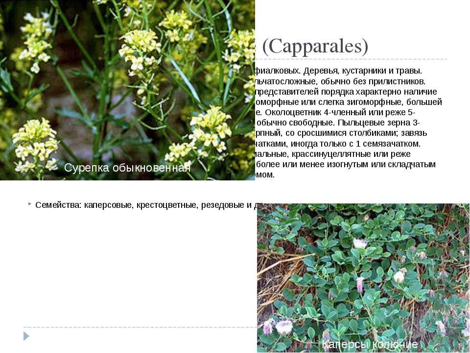 Порядок 6. Каперсовые(Capparales) Происходит от примитивных представителей ...