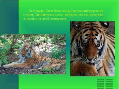 На Сумате, Яве и Бали темный островной тигр исчез совсем. Хищническая охота п...