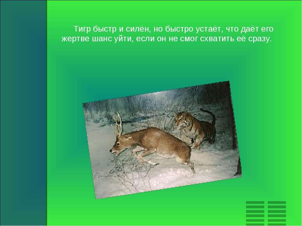 Тигр быстр и силён, но быстро устаёт, что даёт его жертве шанс уйти, если он ...
