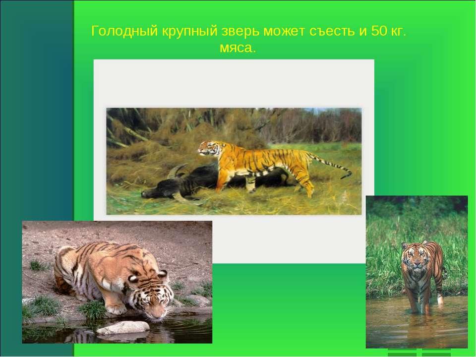 Голодный крупный зверь может съесть и 50 кг. мяса.