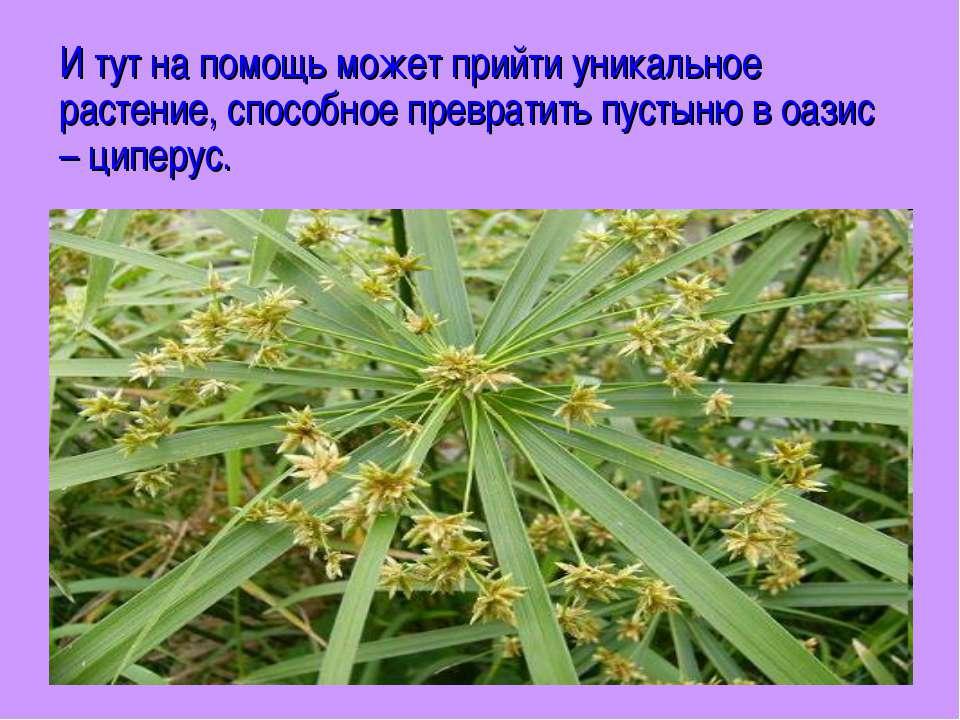 И тут на помощь может прийти уникальное растение, способное превратить пустын...