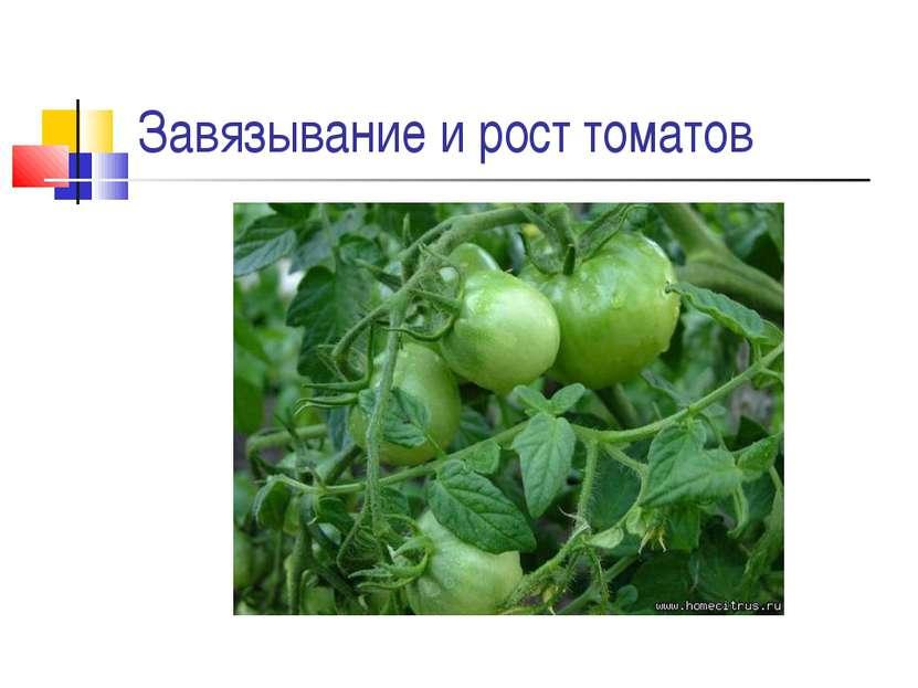 Завязывание и рост томатов