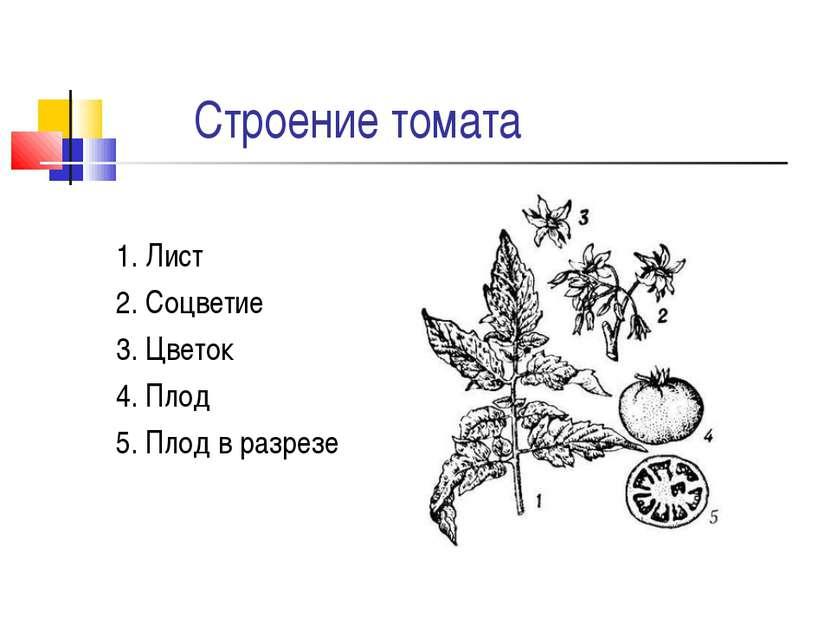 Строение томата 1. Лист 2. Соцветие 3. Цветок 4. Плод 5. Плод в разрезе