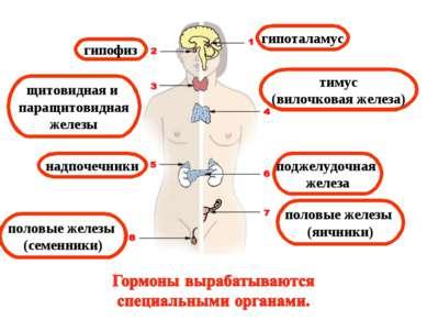 гипофиз щитовидная и паращитовидная железы тимус (вилочковая железа) гипотала...
