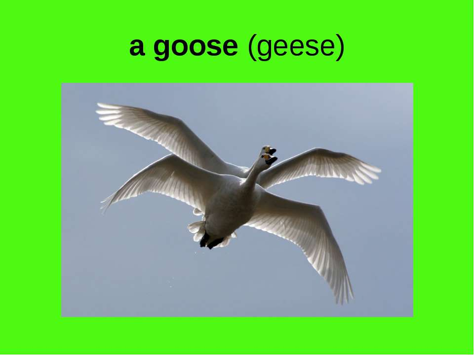 a goose (geese)