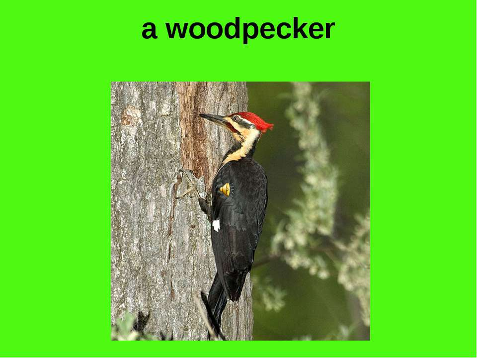 a woodpecker