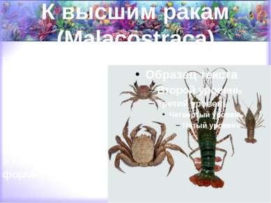 К высшим ракам (Malacostraca) относятся крабы, омары, лангусты, речные раки, ...