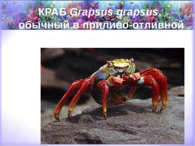 КРАБ Grapsus grapsus, обычный в приливо-отливной зоне тропических морей.