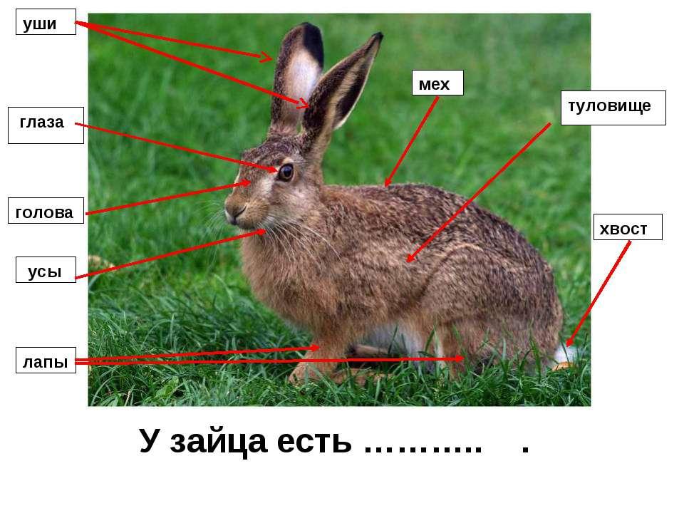 У зайца есть ……….. . уши глаза голова усы лапы мех туловище хвост