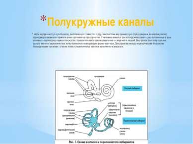 Полукружные каналы часть внутрен него уха (лабиринта), выполняющая совместно...