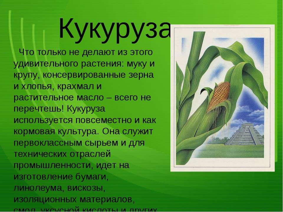 Кукуруза Что только не делают из этого удивительного растения: муку и крупу, ...