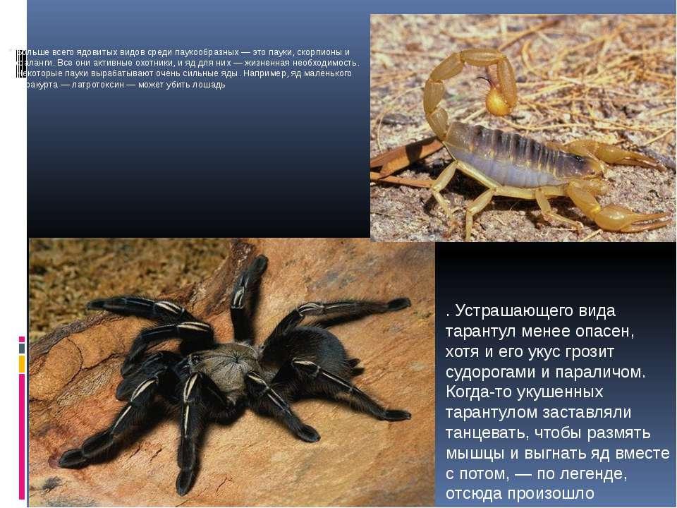 Больше всего ядовитых видов среди паукообразных — это пауки, скорпионы и фала...