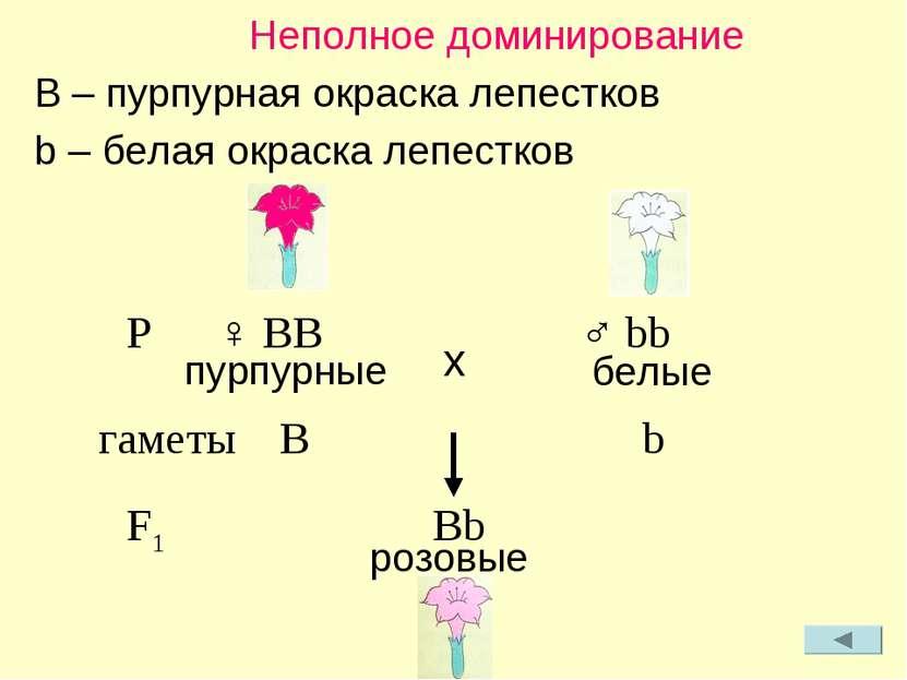 Неполное доминирование B – пурпурная окраска лепестков b – белая окраска лепе...