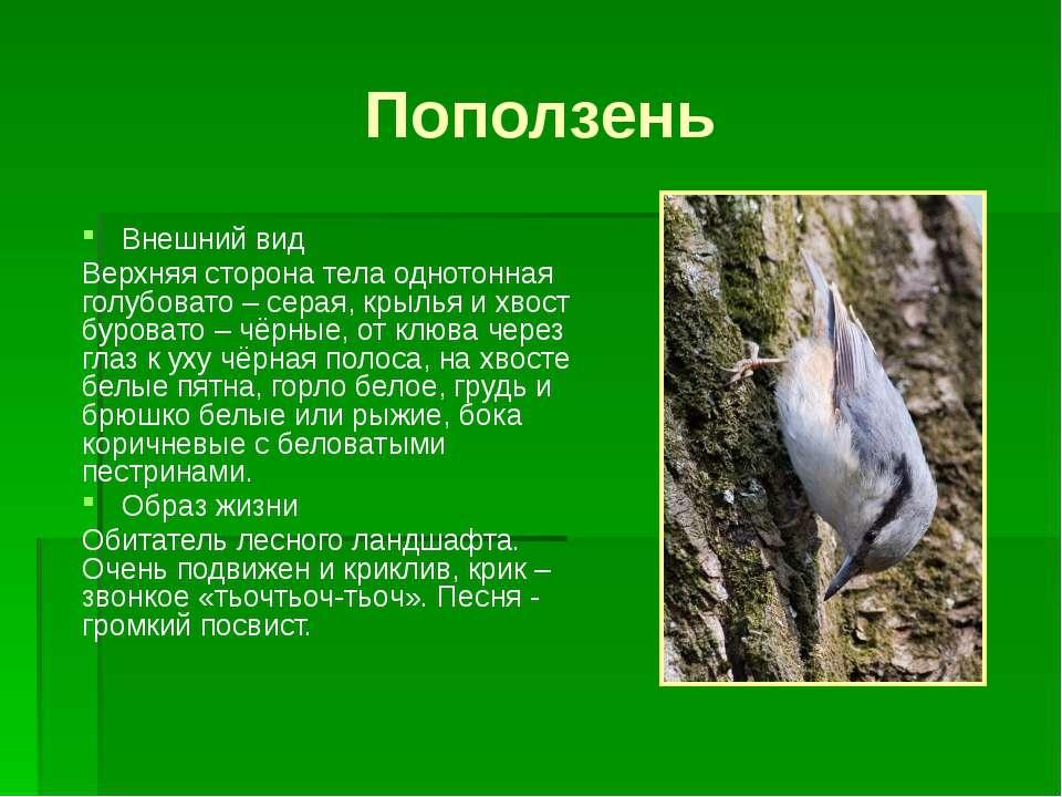 Поползень Внешний вид Верхняя сторона тела однотонная голубовато – серая, кры...