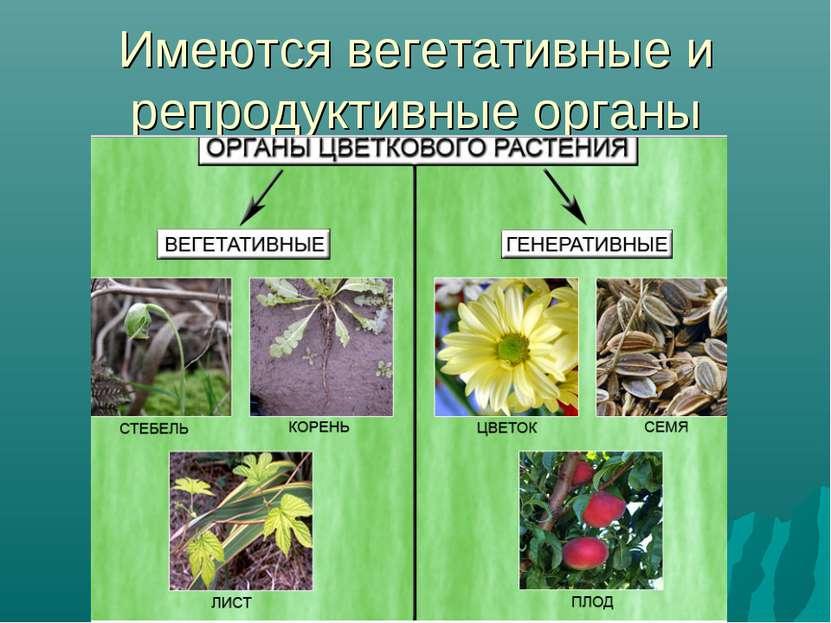 Имеются вегетативные и репродуктивные органы