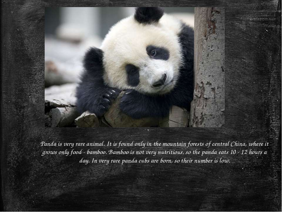 Panda is very rare animal. It is found only in the mountain forests of centra...