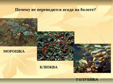 Почему не переводится ягода на болоте? МОРОШКА КЛЮКВА ГОЛУБИКА