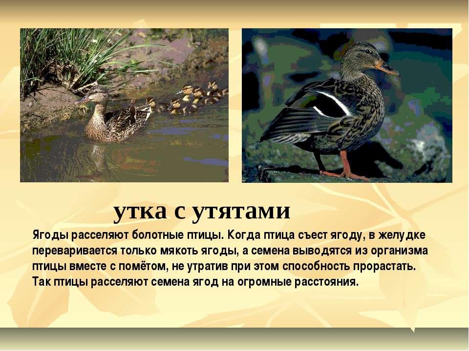 утка с утятами Ягоды расселяют болотные птицы. Когда птица съест ягоду, в жел...