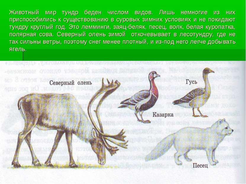 Животный мир тундр беден числом видов. Лишь немногие из них приспособились к ...