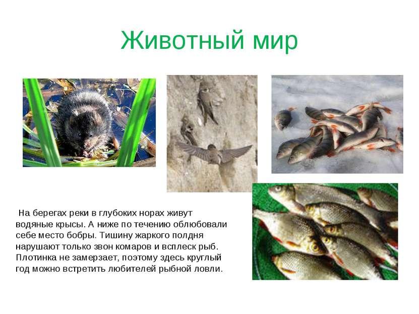 Животный мир На берегах реки в глубоких норах живут водяные крысы. А ниже по ...