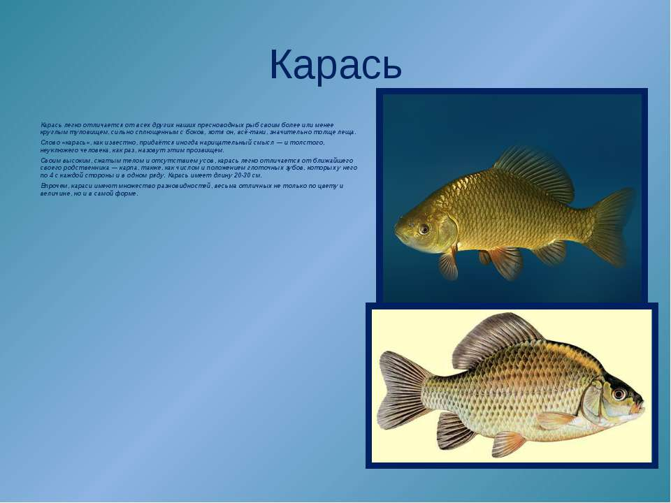 Карась Карась легко отличается от всех других наших пресноводных рыб своим бо...