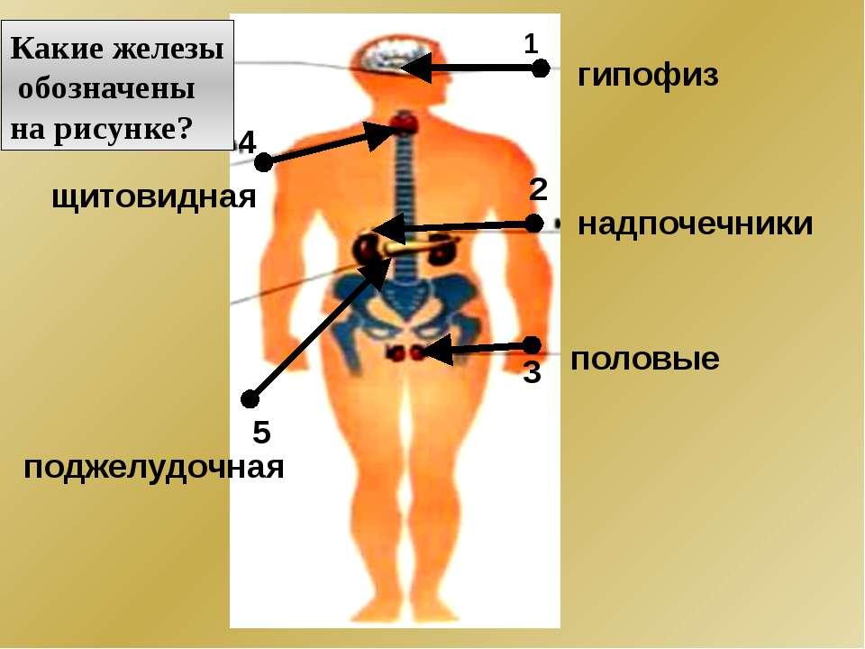 1 2 3 4 5 Какие железы обозначены на рисунке? гипофиз половые надпочечники щи...