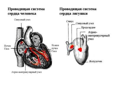 Проводящая система сердца человека Проводящая система сердца лягушки