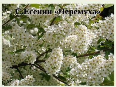 С.Есенин «Черёмуха»