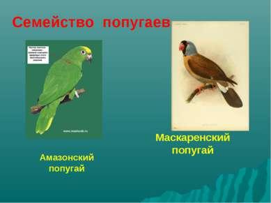 Маскаренский попугай Амазонский попугай Семейство попугаев