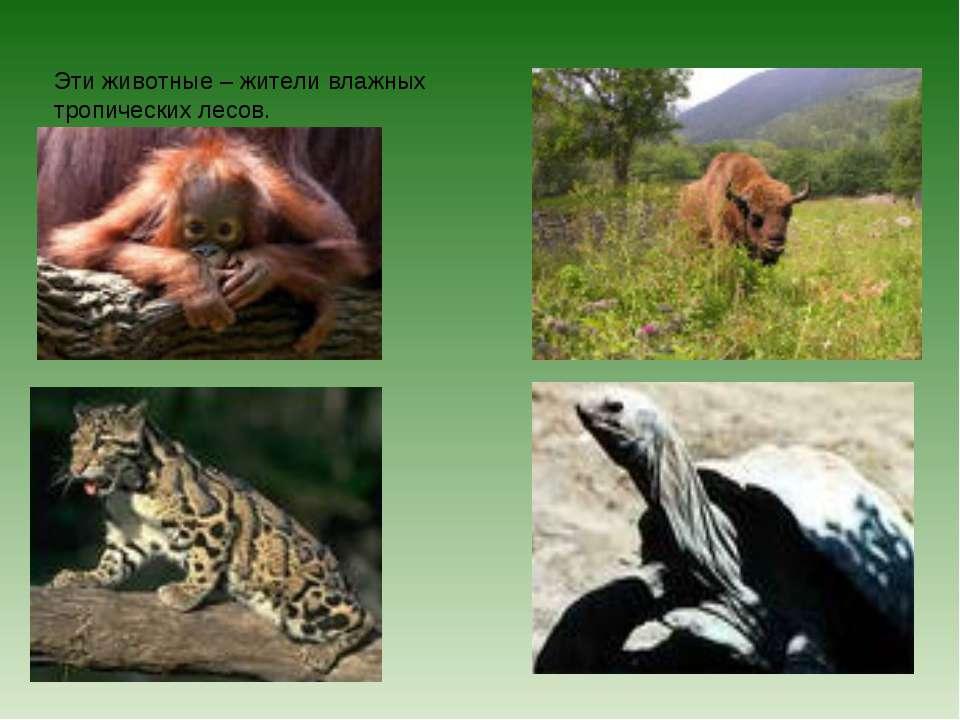 Эти животные – жители влажных тропических лесов.