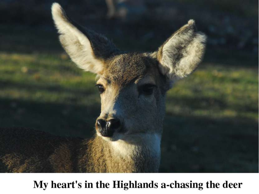 My heart's in the Highlands a-chasing the deer