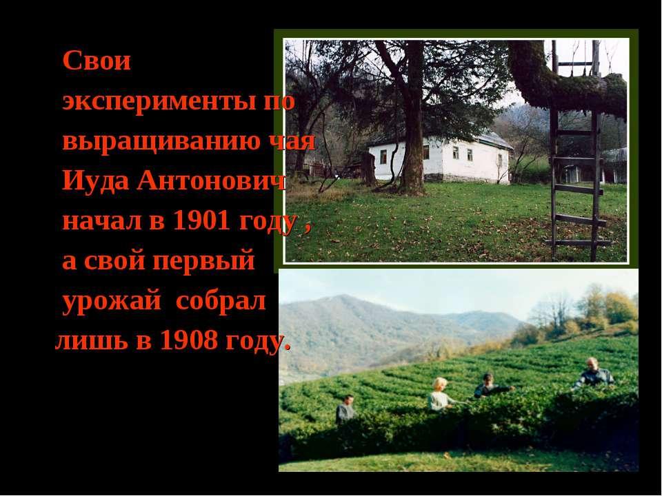 Свои эксперименты по выращиванию чая Иуда Антонович начал в 1901 году , а сво...