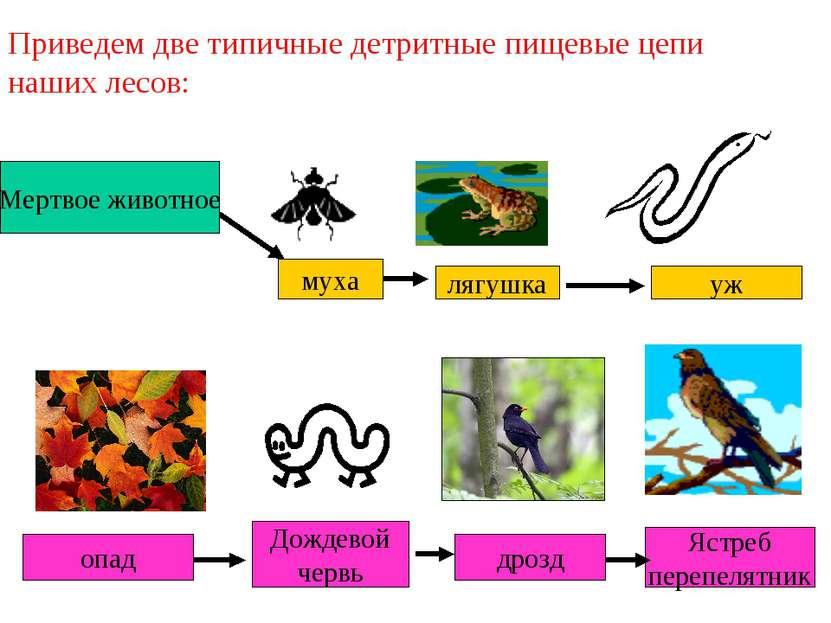Мертвое животное Приведем две типичные детритные пищевые цепи наших лесов: му...