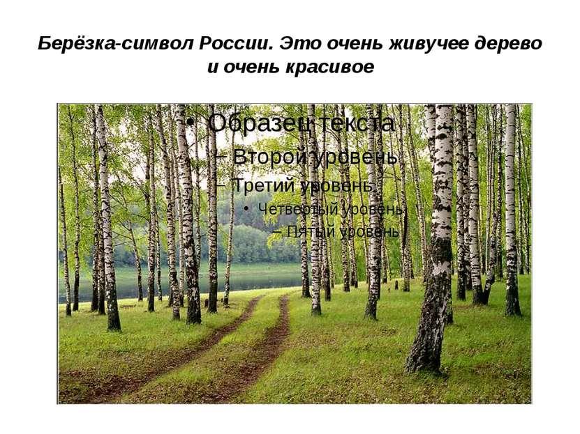 Берёзка-символ России. Это очень живучее дерево и очень красивое